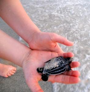 Leatherbacks in Culebra
